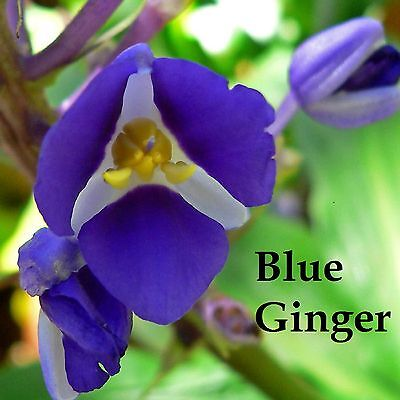 ~SAPPHIRE BLUE GINGER~ Gorgeous TROPICAL PL Dichorisandra thyrsiflora 3 CUTTINGS