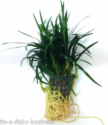 "Fountain Plant  ""Japonica kyoto Ophiophogon"" Pot Live Aquatic Plants java shrimp"