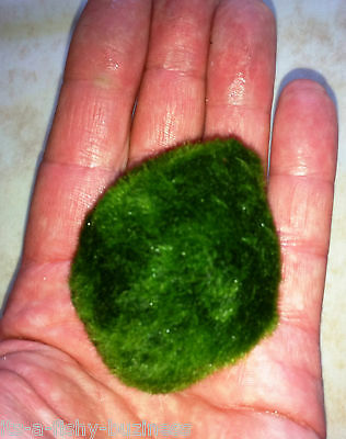 3x Moss Balls Marimo Tropical or Cold Live Plant Nano Shrimp 3 to 5cm UK