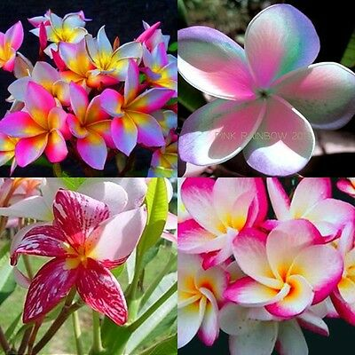 """set 4 Cutting"" Fragrant Cutting Plumeria 7-12"" Have Rooted With Cer. Easy Plant"