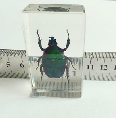 Natural Green Chafer Beetle Chic Insect Specimens Lucid Bottom Paperweight Craft