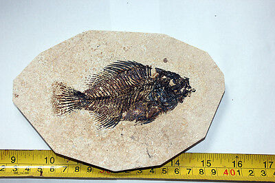 B.J.F. New Fossil   Fish , VERY NICE! PRISCACARA liops:,  Wyoming  USA,4