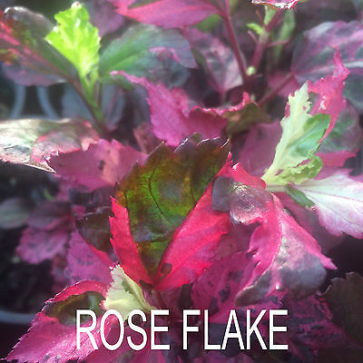 Hibiscus Plant X1 Exotic Evergreen Tropical Flower Plants Rose Flake