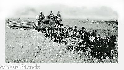 Vintage Farm Photo harvest Combine combining wheat 1890s-1900 Horses.Threshing