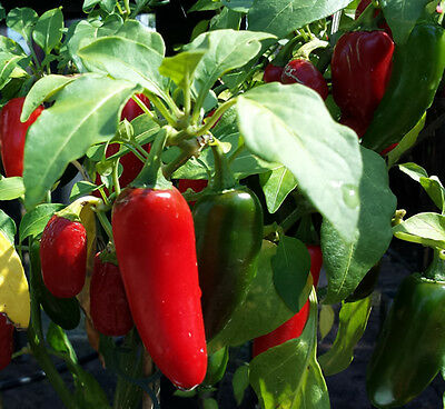 Mexican Red Jalapeno - BULK 100 Seeds - The Most Widely Used Chilli Pepper