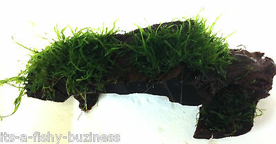Flame Moss on Bogwood Taxiphyllum sp Tropical Aquatic live Aquarium Plant