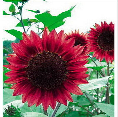 1 Pack 15 Seeds Sunflower Seed red Fortune Flower Seeds 15 Seeds