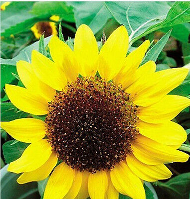 FD1551 1 Pack 20 Seeds Low Sunflower Helianthus Seed Flower Seed For Good Luck