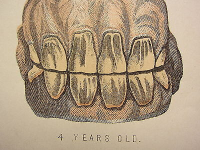 1880 Print ~ Horse Teeth ~ Showing The Age Of The Horse From Birth To 5 Years