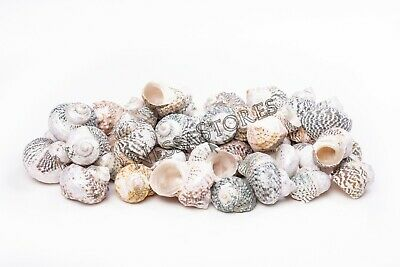 "Mexican Turbo Sea Shell Beach Craft Hermit Crab 1 1/2"" - 2 1/2"" (100 PCS )"
