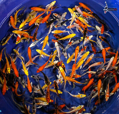 "Lot of (25) 2 to 2.5"" GRAB BAG BABY IMPORTED BUTTERFLY KOI live fish fin NDK"