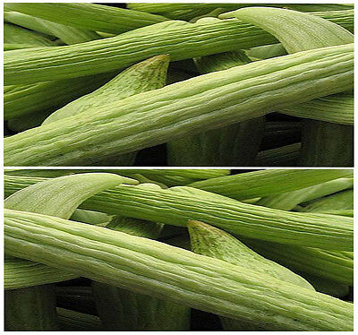 (30) ORGANIC Armenian Cucumber SEEDS ~  BURPLESS & SWEET ~  Combined S&H