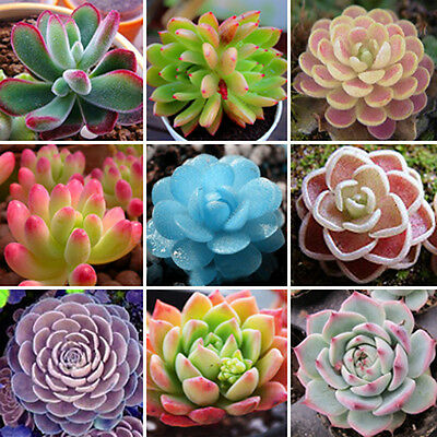 Mixed Succulent 60 Seeds Lithops Rare Living Stones Plants Cactus Home Plant NT