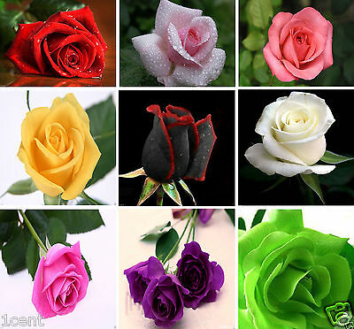 900 seeds of Roses flowers Pink White Red Purple black green climbing rosa rose