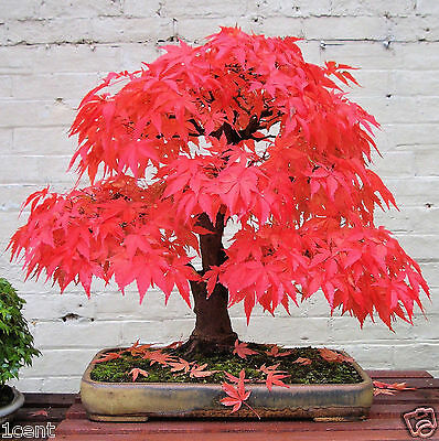 60 seeds of mini Japanese Red Maple tree bonsai home garden acer