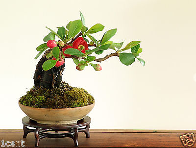 20 seeds of mini Japanese Quince bonsai tree flowers Ornamental