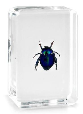 Real Blue Rose Chafer Beetle Insect Paperweight Specimen Taxidermy