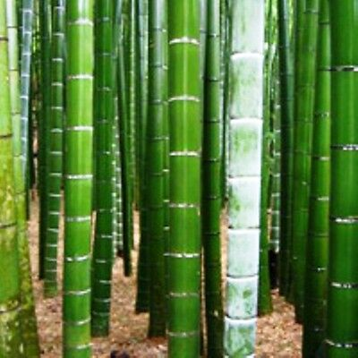 100 Seeds - MOSO BAMBOO - Phyllostachys pubescens / edulis - Muso Hardy Bamboo