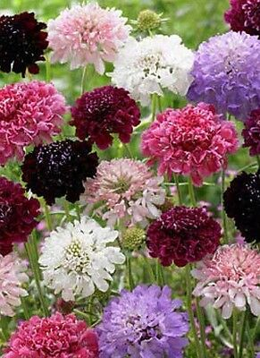 """Scabiosa atropurprurea """"Tall Double Mix"""" x 25 seeds. Ask for combined postage"""