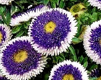 "Aster ""Lilliput Blue Moon"" (Callistephus chinensis) x 50 seeds. Show winner."