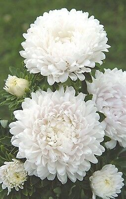 """Aster """"Milady White"""" x 50 seeds. Gift in store"""