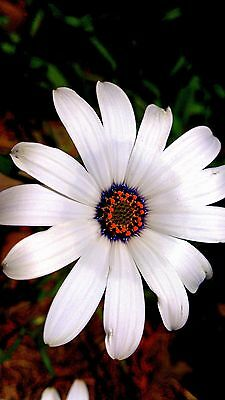Glistering White African Daisy (Dimorphoteca pluvalis) x 50 seeds. Flower.