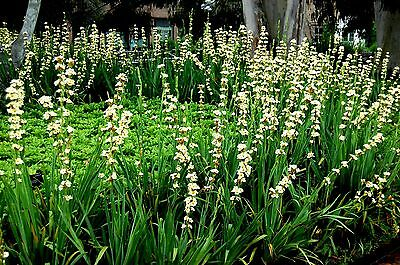 Aunt May Iris (Sisyrinchium striatum) x 10 seeds. Ask for combined postage