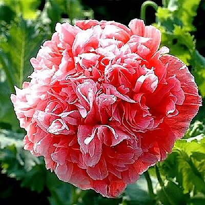 """Papaver peoniflorum (Poppy) """"Frosted Salmon"""" x 50 seeds. Gift in store"""