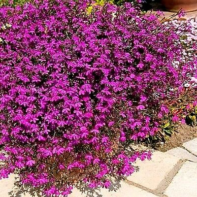 "Bedding Lobelia ""Rosamond"" x 100 seeds. Deep pink (red) with white eye."
