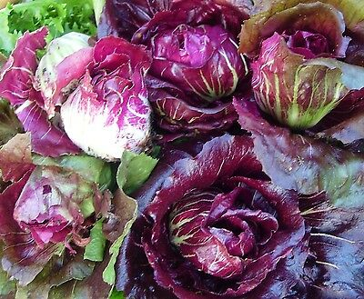 RADICCHIO 'Palla Rossa' x 100 seeds  Winter vegetable. Ask for combined postage