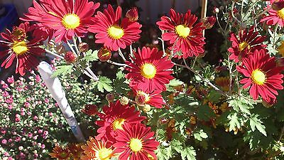 Chrysanthemum Indicun Early Doubles Mix x 50 seeds. Autumn flowers.