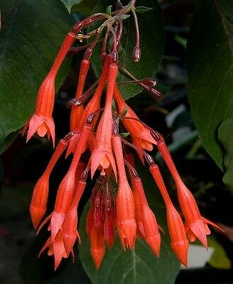 "Fuchsia triphylla ""Thalia"" x 1 plant.  Ask for combined postage"