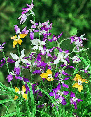 Evening Scented Stock x 200+ seeds.  Not for SA . Gift in store.