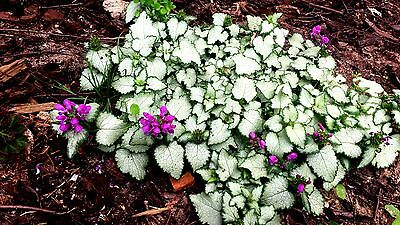 Lamium maculatum 'Beacon Silver'  x 1 plant. Silver leaved ground cover plant