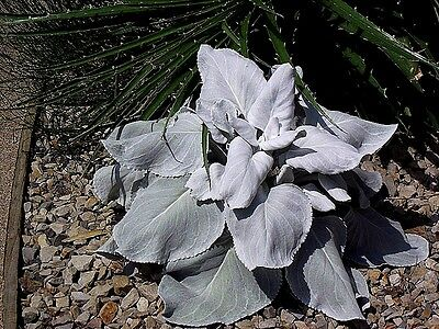 Senecio candicans x 25 seeds. Grey foliage, perennial.Ask for combined postage