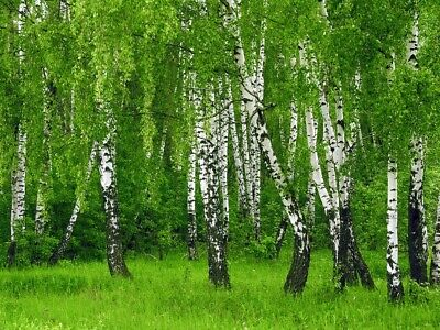 how to grow silver birch trees from seeds