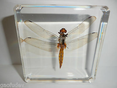 Scarlet Skimmer Dragonfly Crocothemis servilia Education Real Insect Specimen