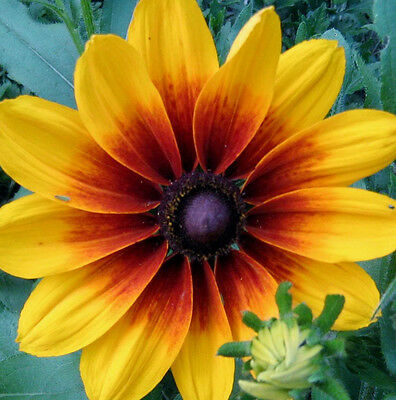 Gloriosa Daisy (Rudbeckia hirta) x100 seeds Drought tolerant Flowers over 10 cm