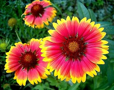 Gaillardia aristata x 50 seeds. Drought tolerant Flower. Gift in store