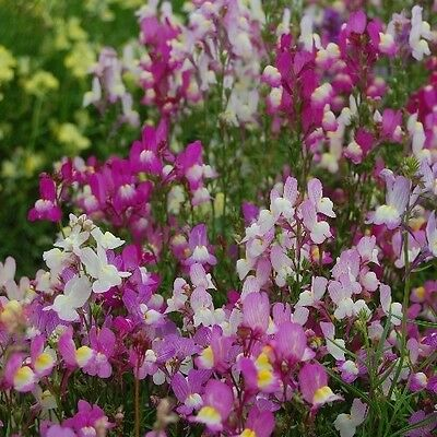 """Linaria marrocana """"Fairy Bouquet Mix"""" x 200  seeds Flower. Gift in store"""