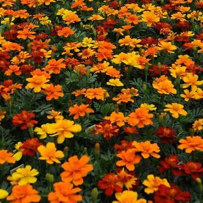 Pack Flower Seeds French Marigold Durango Mixed Kings Quality Seeds