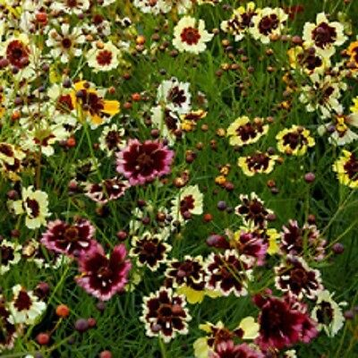 Coreopsis tinctoria Tall varieties Mix x 100+ seeds. Gift in store
