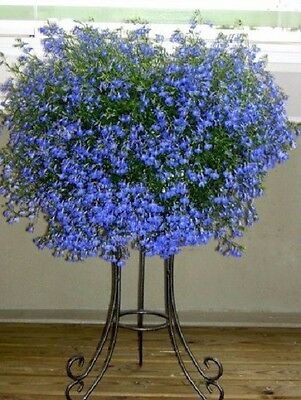 "Trailing Lobelia ""Fountain Blue"" x 200 seeds. Gift in store"