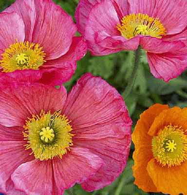 Papaver rhoeas (Poppy) Mix x 100 seeds Gift in store. Ask for combined postage