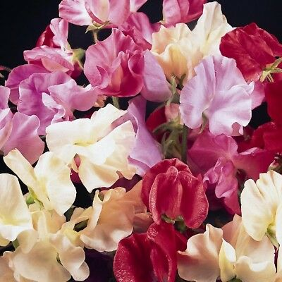 Pack Flower Seed Sweet Pea Galaxy Mixed King's Quality Seeds