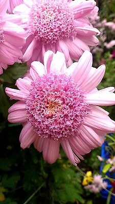 "Garden Chrysanthemum ""Lucy"" x 1 plant. Tall, fast growing, anemone type"