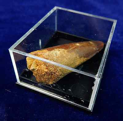 Spinosaurus Tooth - 1 to 1.5 Inches in Acrylic Case - A Beverly Oaks Exclusive