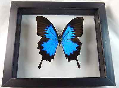 Beautiful Blue Morpho Butterfly - Black Frame Double Pane Glass w/ Wall Moun