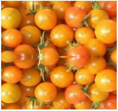 (15) SUNGOLD SUN GOLD TOMATO SEED - VERY PRODUCTIVE with FRUITY FLAVOR Comb. S&H