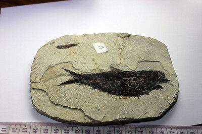 "B.J.F.  Super Med  Fossil  Fish  ""Knightia:  From  Wyoming  USA .4"